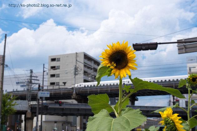 ひまわり-4198.jpg